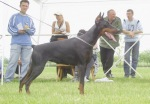 Ayrin in Special Doberman Club Show1
